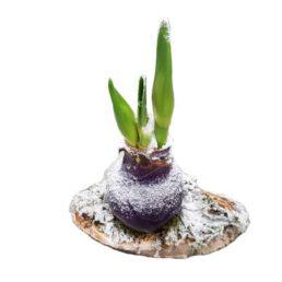 Amaryllis bol waxen (5 pers)